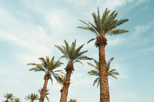 Branches Of Date Palms Under B...
