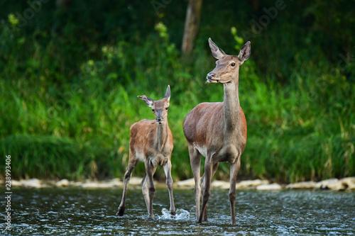 Photo  Red deer (Cervus elaphus)