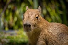 Baby Capybara On Warm Sunny Day