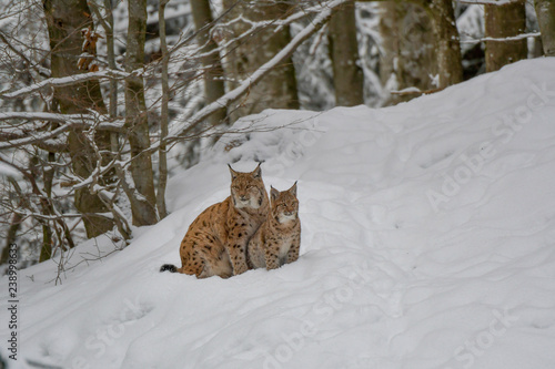 Fototapeta premium Rodzina Lynx