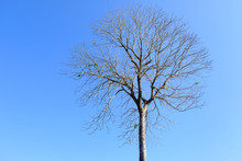 Beautiful Tree Without Leaves With Blue Sky.