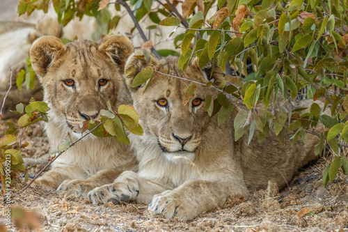 Two young lions ( Panthera Leo) looking in the camera, Ongava Private Game Reserve ( neighbour of Etosha), Namibia Tableau sur Toile