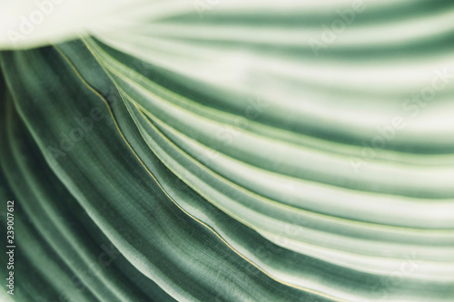Fotografía  Green leaves background with copy space, close up texture of Welwitschia Mirabil