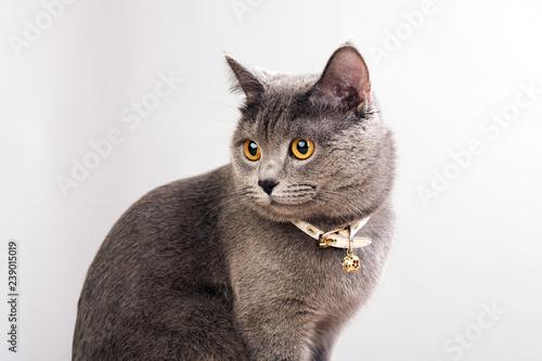 Carta da parati Gray cat in a white collar on a gray background