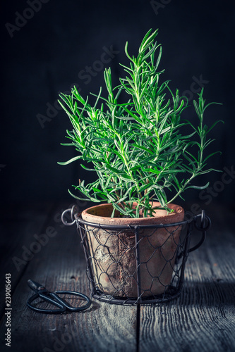 Aromatic and rustic rosemary on old wooden table