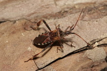 Western Conifer Seed Bug - An ...