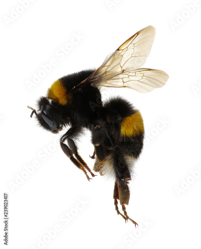 Photo bumblebee isolated on the white