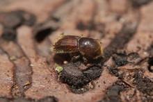 Spruce Bark Beetle On A Close ...