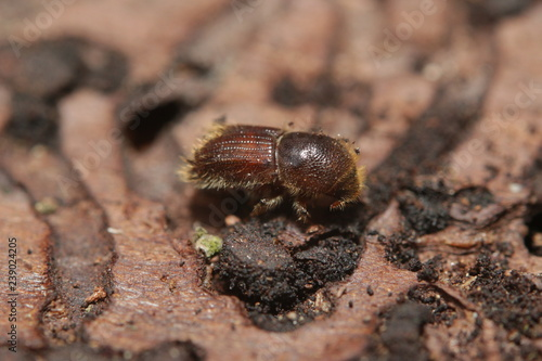 Papel de parede Spruce bark beetle on a close up horizontal picture