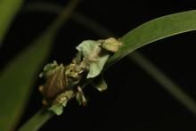 Ghost Mantis Siting On A Leaf ...