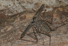 Male Of The Tailless Whip Scor...
