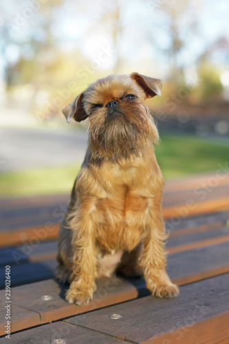 Red Brussels Griffon Dog Griffon Bruxellois Sitting Outdoors On A Wooden Bench In Autumn Buy This Stock Photo And Explore Similar Images At Adobe Stock Adobe Stock