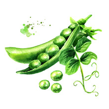Green Fresh Peas With Leaf, Watercolor Hand Drawn Illustration,  Isolated On White Background