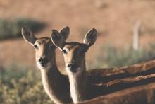 Two Female Sitatungas In Capti...
