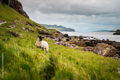 Scottish Blackface sheeps standing in green grasslands surrounded by rough count Canvas Print