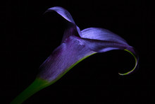 Dark Purple Calla Lily Flower ...