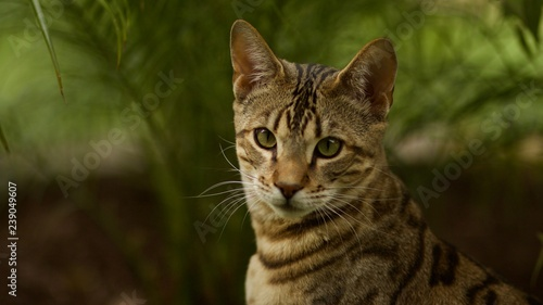 Close up Portrait of Savannah Cat, a Mixed Breed of Serval and Domestic House Ca Canvas Print