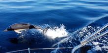Dolphins In The Algarve, Portu...