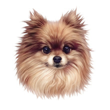 Pomeranian Dog. Illustration Of Handsome Puppy Isolated On White Background. Cute Spitz. Small Toy Dog Breed. Hand Drawn Portrait. Animal Art Collection Dogs. Design Template. Good For Print T-shirt