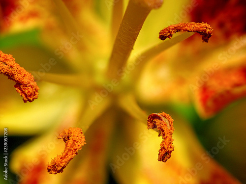Lily Anther Macro, Orange and Yellow Canvas Print