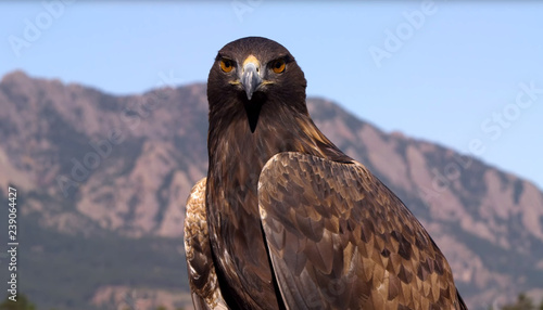 Photo  The beautiful colored falcon in the mountains