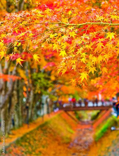 View of the colorful trees in autumn at Fujikawaguchiko next to Lake Kawaguchi in Japan.