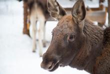 Moose Farm In Winter