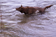 Chocolate Lab Shaking Water Of...
