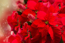 Scarlet Poinsettia Flower Or C...