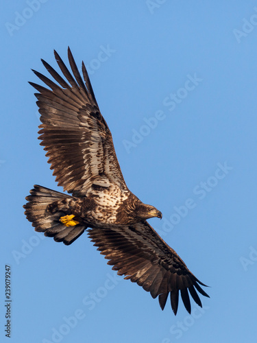 Garden Poster Eagle Juvenile bald eagle in flight (clipping path included)