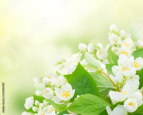 Photographie  Jasmine flowers and leaves