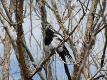 Black-billed Magpie, Colorado