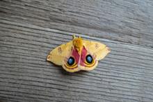 Io Moth Automeris Io American Moth Revealing Its Eye Marking Scare Off Predators
