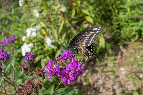 Aster genus of perennial flowering plants with Black Swallowtail (Papilio polyxenes) butterfly