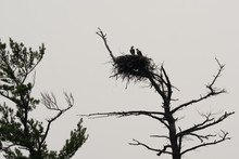 Eagles Sitting In Their Nest High Above The Land
