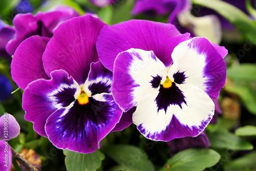 Papiers peints Pansies purple flowers in the garden