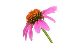 Echinacea Flower (Cone Flower)...