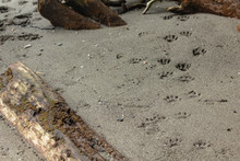 Paw Prints Leading Along The S...