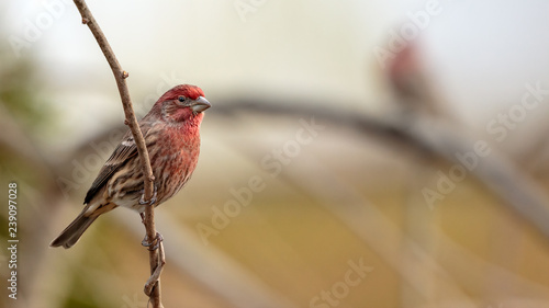 Photographie House Finch