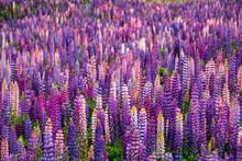 Beautiful Lupins Flower Around...