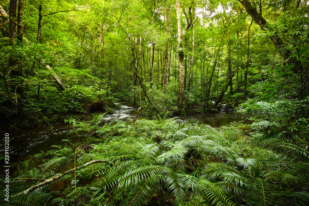 Fototapety, obrazy: plant tropical fern forest / nature green plant rainforest tropical jungle fern tree with stream river