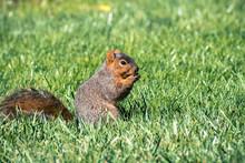 Fox Squirrel (Sciurus Niger) E...