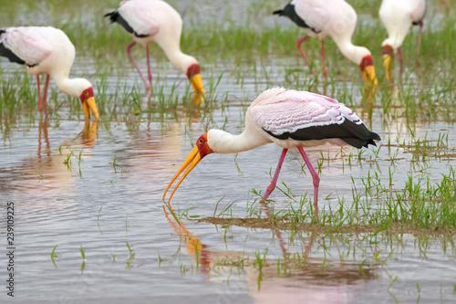 Fotografering  African wading stork, Yellow billed stork (Wood stork, Wood ibis) foraging for fish in water at Lake Manyara, Tanzania, East Africa
