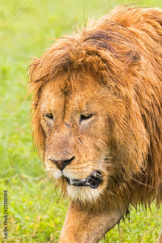 African male lion walking at Ngorongoro Crater in the rain with wet shaggy mane Wallpaper Mural