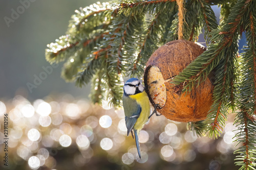 Fototapeta premium Eurasian Blue Tit bird in blue yellow eating bird feeder in coconut Shell suet treats