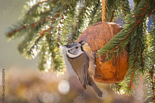 Fototapeta premium European Crested Tit bird eating bird feeder, coconut Shell suet treats during Winter in Europe