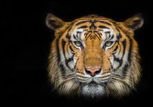 Tiger Face On Black Background.