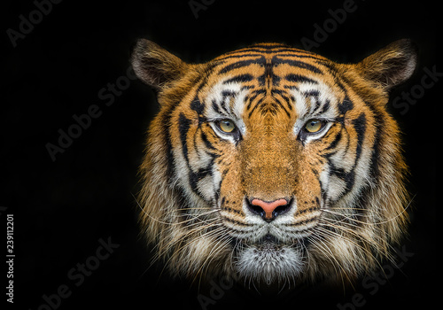 Photo sur Toile Tigre Tiger face on black background.