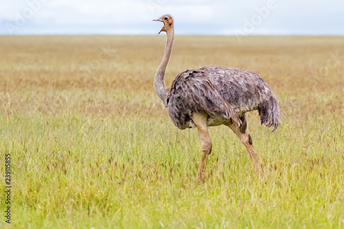 Female African Ostrich bird walking in open grassland at Serengeti National Park in Tanzania, Africa.