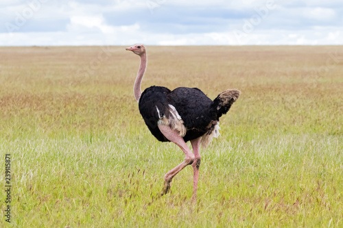 Male African Ostrich bird walking in open grassland at Serengeti National Park in Tanzania, Africa.